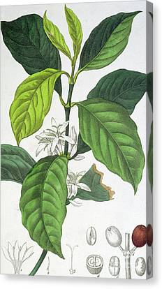 Coffee Canvas Print by Maria Gabriel Cogniet