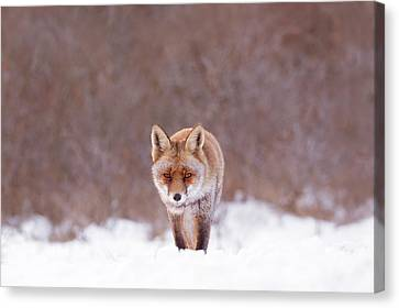Cold Encounter - Red Fox In The Snow Canvas Print by Roeselien Raimond