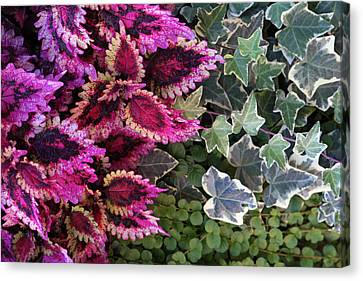 Canvas Print featuring the mixed media Coleus And Ivy- Photo By Linda Woods by Linda Woods