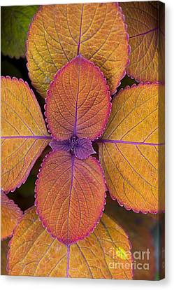 Fiery Red Canvas Print - Coleus Campfire by Tim Gainey
