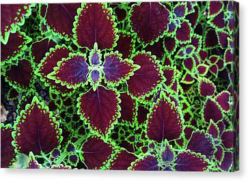 Coleus Leaves Canvas Print