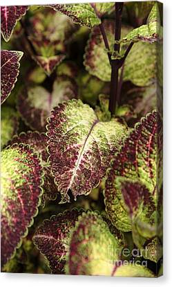 Coleus Plant Canvas Print by Erin Paul Donovan