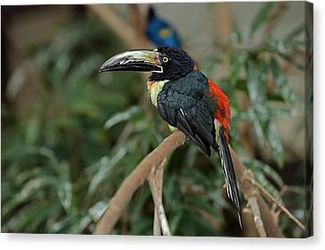 Canvas Print featuring the photograph Collared Aracari by JT Lewis