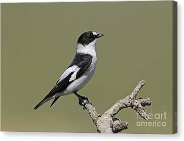 Collared Flycatcher Canvas Print by Richard Brooks/FLPA