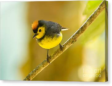 American Redstarts Canvas Print - Collared Redstart by B.G. Thomson
