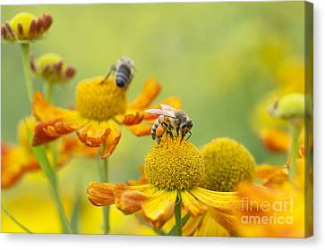 Anther Canvas Print - Collecting Nectar by Tim Gainey