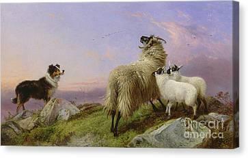 Collie, Ewe And Lambs Canvas Print