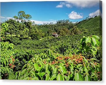 Colombian Coffee Plantation Canvas Print