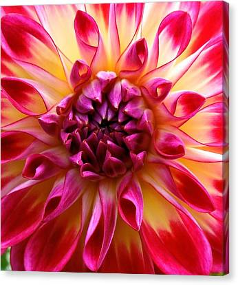 Color Burst Dahlia  Canvas Print