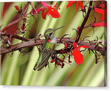 Color Coordinated Hummer Canvas Print by Debbie Oppermann