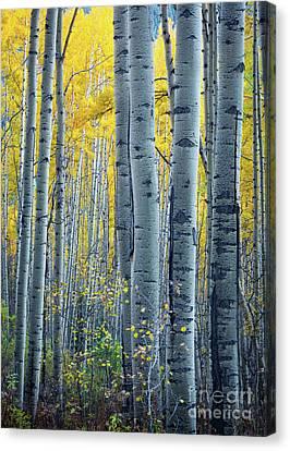 Colorado Aspens Canvas Print by Inge Johnsson
