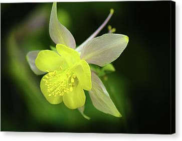 Canvas Print featuring the photograph Colorado Columbine by Marie Leslie