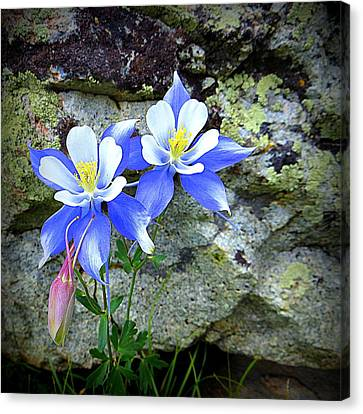 Canvas Print featuring the photograph Colorado Columbines by Karen Shackles