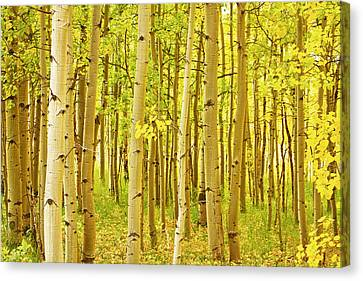 Colorado Fall Foliage Aspen Landscape Canvas Print by James BO  Insogna