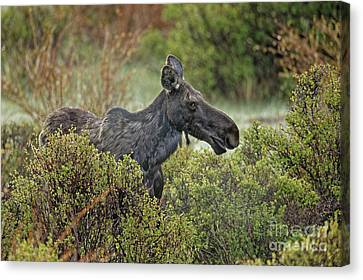 Canvas Print - Colorado Moose by Natural Focal Point Photography