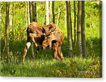 Moose Stretched Canvas Print - Colorado Rockies Moose by Adam Jewell
