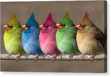 Colored Chicks Canvas Print by John Haldane