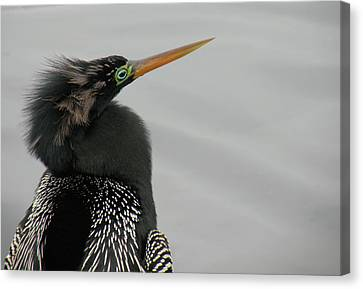 Colorful Anhinga Canvas Print