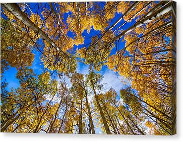 Colorful Aspen Forest Canopy  Canvas Print by James BO  Insogna