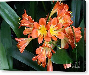 Colorful Beauties Canvas Print by Donna Parlow