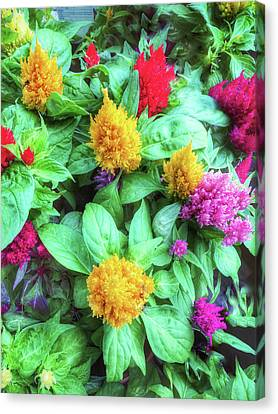 Cockscomb Canvas Print - Colorful Celosia Flowers by Tom Gowanlock