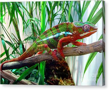 Colorful Chameleon Canvas Print by Nancy Mueller