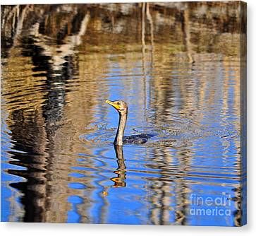Phalacrocorax Auritus Canvas Print - Colorful Cormorant by Al Powell Photography USA