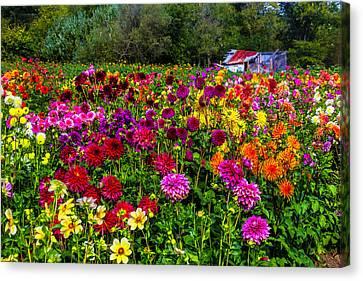Colorful Dahlias In Garden Canvas Print by Garry Gay