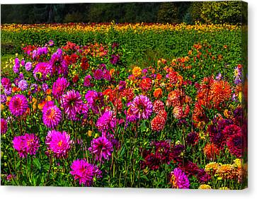Colorful Dahlias Oregon Canvas Print by Garry Gay