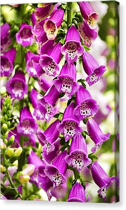 Colorful Foxglove Flowers Canvas Print by Christina Rollo