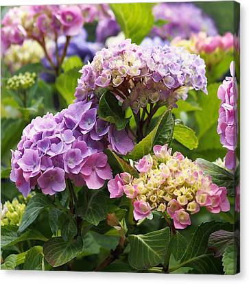 Flower Gardens Canvas Print - Colorful Hydrangea Blossoms by Rona Black