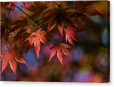 Colorful Japanese Maple Canvas Print by Lori Coleman