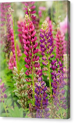 Colorful Lupine Canvas Print
