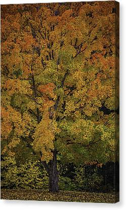 Colorful Maple Canvas Print by Garry Gay