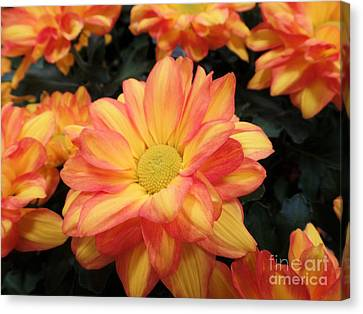 Canvas Print featuring the photograph Colorful Mums by Ray Shrewsberry