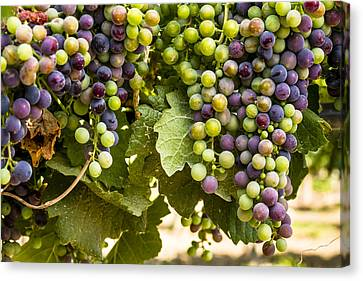 Colorful Red Wine Grape Canvas Print by Teri Virbickis