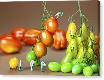 Canvas Print featuring the photograph Colorful Tomato Harvest Little People On Food by Paul Ge