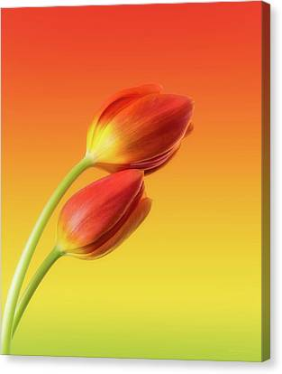 Touching Canvas Print - Colorful Tulips by Wim Lanclus