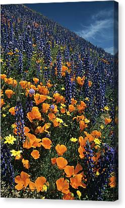 Colossal California Wildflowers Canvas Print
