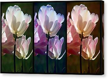 Coloured Tulips Canvas Print by Robert Meanor