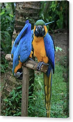 Colourful Macaw Pohakumoa Maui Hawaii Canvas Print by Sharon Mau