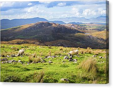 Canvas Print featuring the photograph Colourful Undulating Irish Landscape In Kerry With Grazing Sheep by Semmick Photo