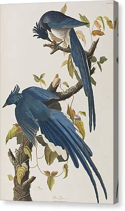 Columbia Jay Canvas Print by John James Audubon