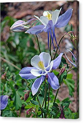 Columbine 2 Canvas Print