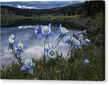 Columbine Blooms In The Rocky Mountains Canvas Print