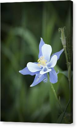 Canvas Print featuring the photograph Columbine by Daniel Hebard