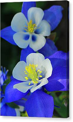 Columbine Day Canvas Print