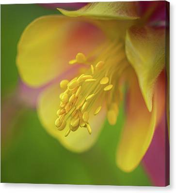 Columbine Canvas Print by Greg Nyquist