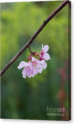 Cherry Tree Canvas Print - Columnar Sargent Cherry Blossom by Tim Gainey
