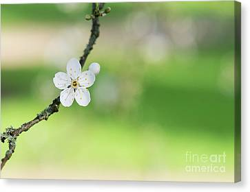 Cherry Tree Canvas Print - Cherry Plum Blossom by Tim Gainey